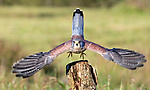 "SYMMETRY:  A majestic take off - this kestrel raises it's tail feathers and stretches it's wings as it springs from an old tree stump at a Lancashire Nature Reserve.<br /> <br /> The images was captured by John Cobham, 72.  He said, ""When it took off it very much took me by surprise. Up to then I had been shooting static portrait type shots for which technically my camera was set up for. Fortunately the shutter speed I was set at previously managed to cope with the birds sudden burst of speed.""<br /> <br /> ""He had been on various elevated vantage points looking for food opportunities and prey.  I am amazed at the symmetry, having never taken an image previously quite  like it, despite having photographed kestrels numerous times.""<br /> <br /> Please byline: John Cobham/Solent News<br /> <br /> © John Cobham/Solent News & Photo Agency<br /> UK +44 (0) 2380 458800"