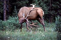 Canadian Rockies, Canada - Bull Elk, Wapiti (Cervus canadensis) grazing in Forest Meadow