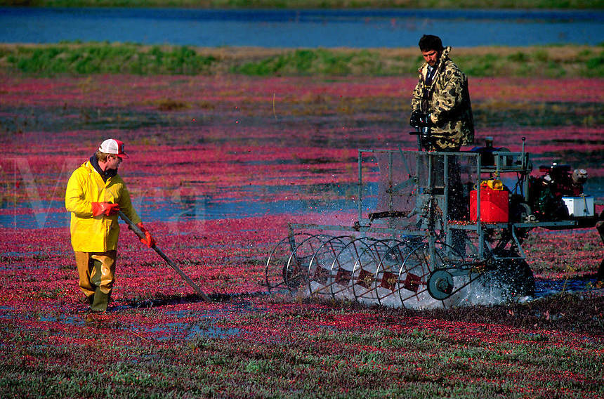 Men harvesting cranberries. Carver, Massachusetts.