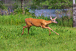 White-tailed doe running through a summer field in northern Wisconsin.