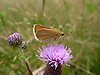 A beautiful small butterfly on a Thistle flower on the South Downs, West Sussex, UK<br /> <br /> Stock Photo by Paddy Bergin