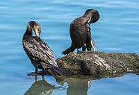 Two Neotropic Cormorants, Phalacrocorax brasilianus, stand on the shore of a small lake in the Riparian Preserve at Water Ranch, Gilbert, Arizona