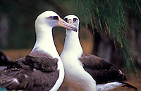 Two adult Laysan Albatrosses at the Kilauea wildlife refuge on the Big Island