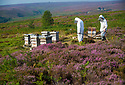 08/08/18<br /> <br /> ***With Video:  https://youtu.be/QLqAbHn4vd4  ***<br /> <br /> Surrounded by stunning purple heather, Bee farmers Tony Maggs and Catherine Harrison place bee hives on Strines Moor in the Derbyshire Peak District.<br /> <br /> The late summer blooms usually produce the best tasting honey. But this year's hot weather means that yields are likely to be lower. <br /> <br /> Fears of triggering moorland fires means Tony has swapped his smoker for a water spray. Smoke makes the bees stay in their hives. <br />  <br /> All Rights Reserved: F Stop Press Ltd. +44(0)1335 344240  www.fstoppress.com www.rkpphotography.co.uk