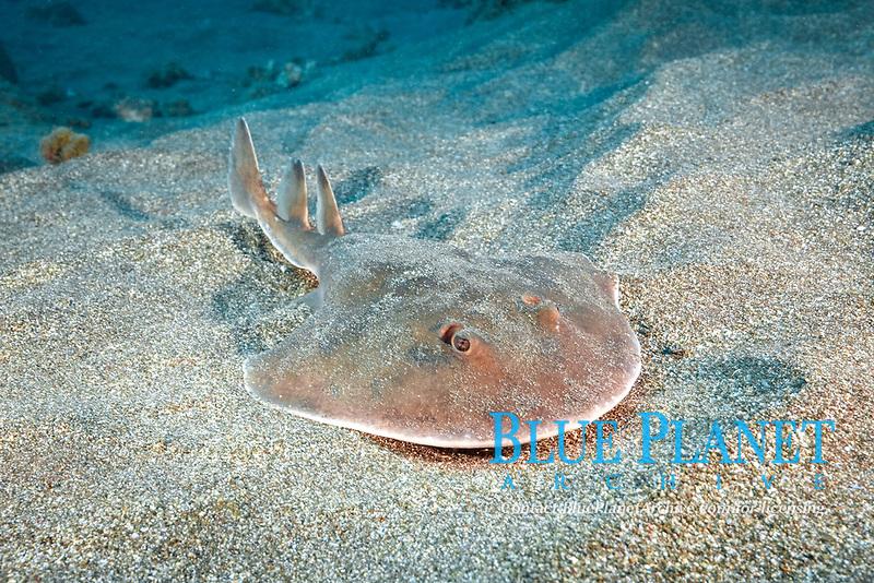 giant electric ray or Cortez electric ray (Narcine entemedor), juvenile, San Benedicto, Revillagigedo Islands, Mexico, Pacific Ocean