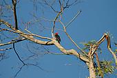Fazenda Bauplatz, Brazil. Red crested woodpecker (Dryocopus sp.) perched on a branch.