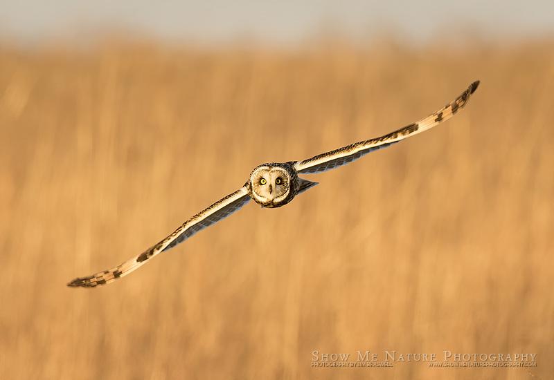Short-eared Owl hunting over Shawnee Trail CA, MO