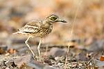 Eurasian stone curlew / Eurasian thick-knee (Burhinus oedicnemus) on rocky forest floor. Bandhavgarh NP, India