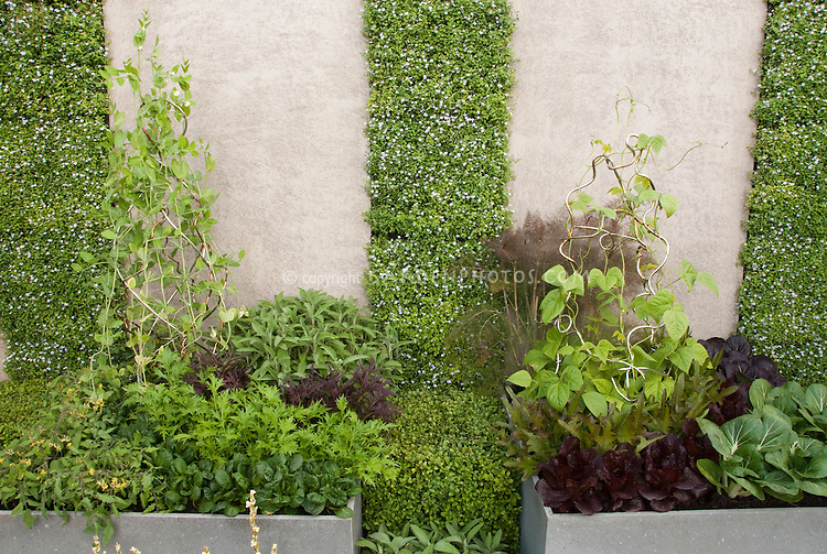 Vegetable Garden with Vertical Growing & Container in late spring, including peas on wire trellis, herbs fennel, red and green leaf lettuce, gourmet salad greens, spinach, wall with vertical plantings in small space food gardening