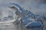 Whooper swans, Hokkaido, Japan