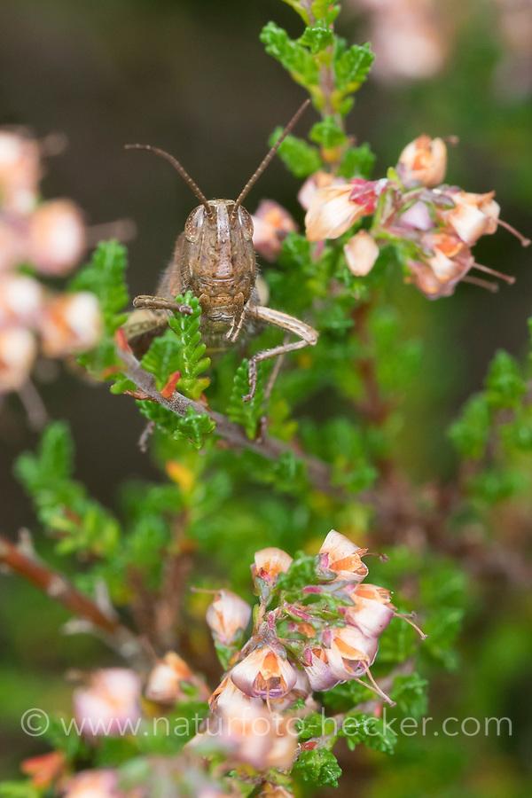 Wiesengrashüpfer, Wiesen-Grashüpfer, Weibchen, Feldheuschrecke, Grashüpfer, Chorthippus dorsatus, Steppe Grasshopper, female, Criquet verte-échine
