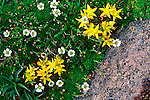 During the summer, the yellow stonecrop and alpine sandwort grow in the alpine region of Rocky Mountain National Park, Colorado.