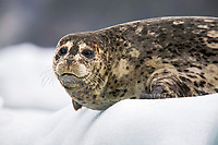 USA, Alaska, Tracy Arm-Fords Terror Wilderness, Harbor seal (Phoca vitulina) on icebergs by South Sawyer Glacier