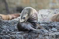 New Zealand Fur Seal Pup on Tasman Island, Tasmania