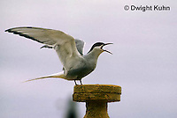 MC78-003z  Arctic Tern - warning off intruder - Machias Seal Island, Bay of Fundy - Sterna paradisaea