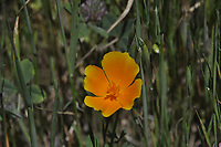 California Poppy (Eschscholzia californica), Mt. Tamalpais State Park, Marin County, California, US