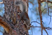 Abert's Squirrel (Sciurus aberti).  South Rim, Grand Canyon, Arizona.