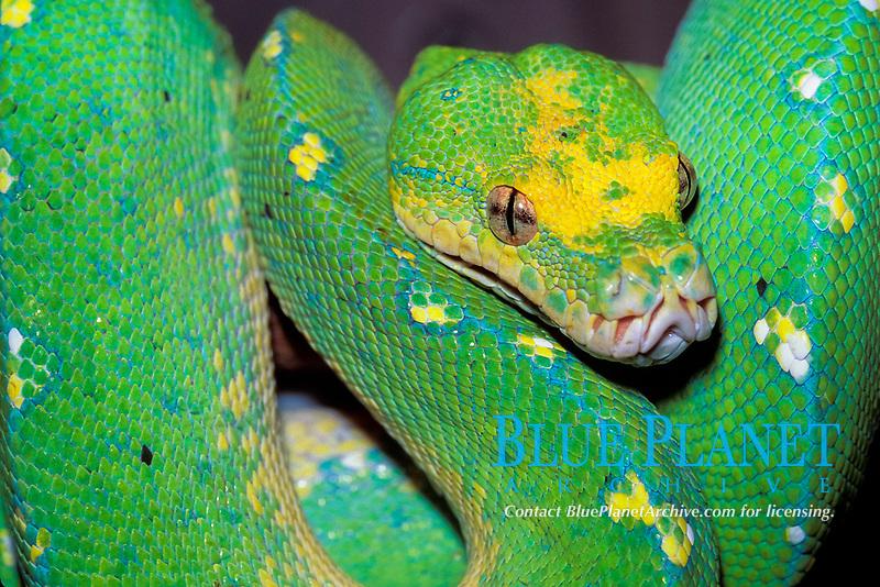 green tree python, Chondropython viridis, South East Asia