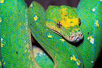 green tree python, Chondropython viridis, South East Asia