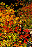 Mass of delicate fall leaves may be used as background.  Soft focus.