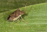 0109-0913  Spined Soldier Bug, Thyanta perditor  © David Kuhn/Dwight Kuhn Photography