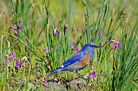 Male Western Bluebird (Sialia mexicana).  The wildflowers are mostly Grass Widows and shooting stars (or birdbills)  and they are some of the earliest wildflowers found in the Columbia River Gorge National Scenic Area.  One often finds hardy individuals in early February, but the peak bloom for these flowers usually occurs in early March, which coincides with the return of these beautiful birds to this area.