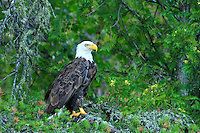 """""""Bald Eagle""""<br /> <br /> A majestic bald eagle in the Boundary Waters Canoe Area Wilderness (BWCAW) sits on a Jack Pine branch against a backdrop of northern white cedar boughs."""