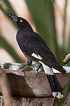 Undara Volcanic National Park, Queensland, Australia; a pied currawong (Strepera graculina) bird standing on the edge of a bird bath on the grounds of the Undara Lodge