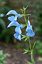 Salvia patens 'Cambridge Blue', mid October.