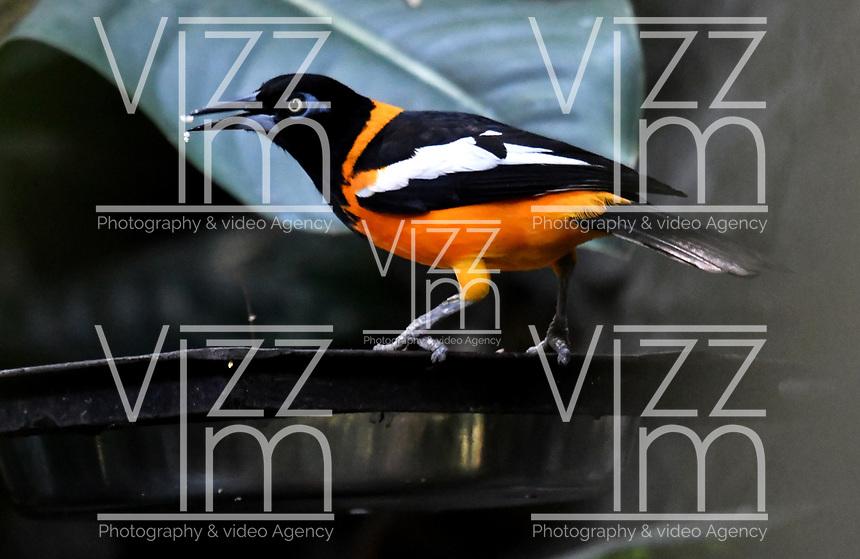 CALI - COLOMBIA - 27 - 09 - 2017: Turpial Real (Icterus icterus), especie de ave en el Zoologico de Cali, en el Departamento del Valle del Cauca. / Turpial Real (Icterus icterus), Bird specie in the Zoo of Cali,  in the Valle del Cauca, Colombia. / Photo: VizzorImage / Luis Ramirez / Staff.