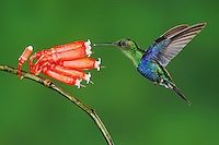 Green-Crowned Woodnymph (Thalurania fannyi), male feeding on flower,Mindo, Ecuador, Andes, South America