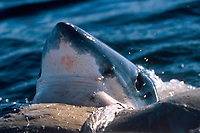 great white shark, Carcharodon carcharias, feeds on carcass of Bryde's whale, Balaenoptera edeni, False Bay, South Africa