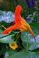 Flores. Capuchinha, nasturcio ( Tropaeolum majus). UK. Foto de Manuel Lourenço.