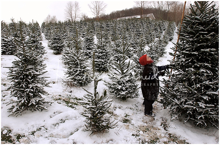 A boy measures the height of a tree as his family searches for a Christmas tree at the Big Ridge Tree Farm in Banner Elk, N.C. Model released photo, can be used to illustrate Christmas tree searches elsewhere.