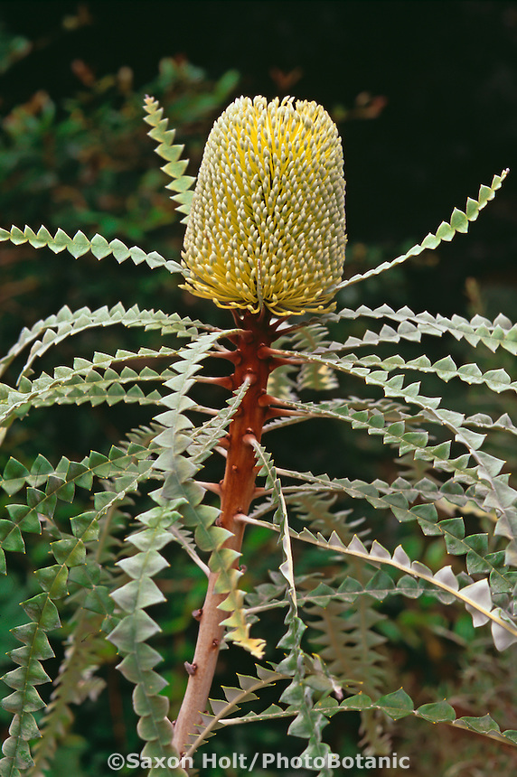 Banksia speciosa (Showy Banksia) with yellow flower