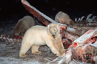 polar bears, Ursus maritimus, feeding on carcass of bowhead whale, Balaena mysticetus, Arctic National Wildlife Refuge, Alaska, polar bear, Ursus maritimus