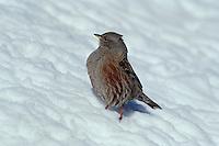 Alpine Accentor (Prunella collaris), adult on snow, Switzerland