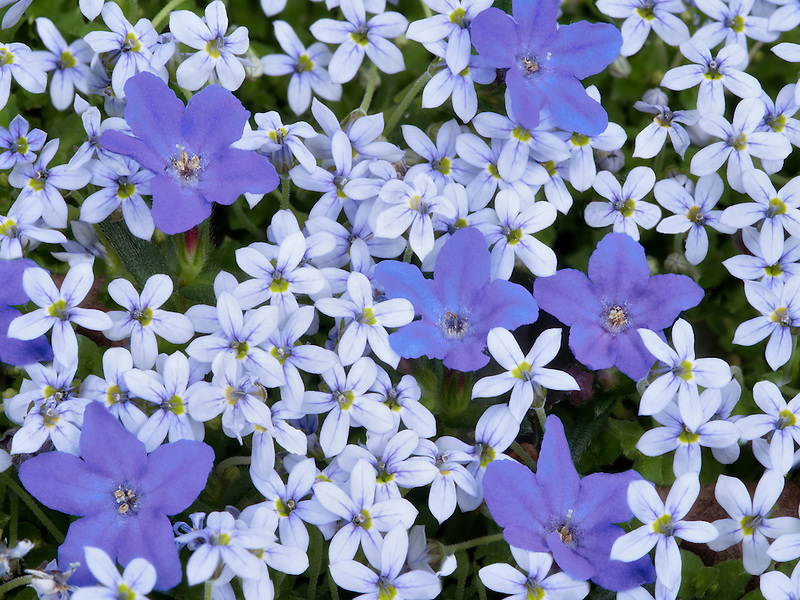 Unidentified ground cover and Lobelia flowers. Oregon