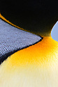Close up study of the neck feathers of an adult king penguin (Aptenodytes patagonicus). Salisbury Plain, South Georgia, South Atlantic.