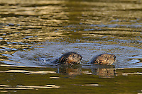 Sea Otters (Enhydra lutris)--mom with three to four month old pup.