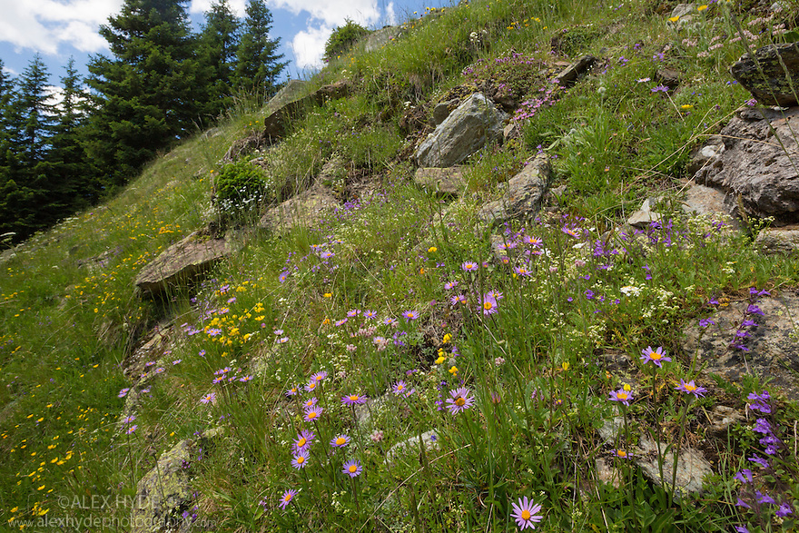 Dry alpine meadow habitat showing a profusion of different plant species including Alpine Aster {Aster alpinus}. Nordtirol, Austrian Alps. July.