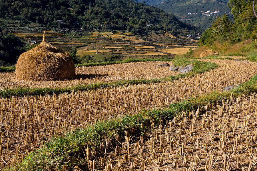 Punakha, Bhutan.  Rice Terraces after Harvest along the Mo River Valley.