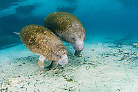 Florida Manatee, Trichechus manatus latirostris, A subspecies of the West Indian Manatee. A Manatee mother and her calf seek the the warm waters of Three Sisters Springs. Crystal River, Florida.