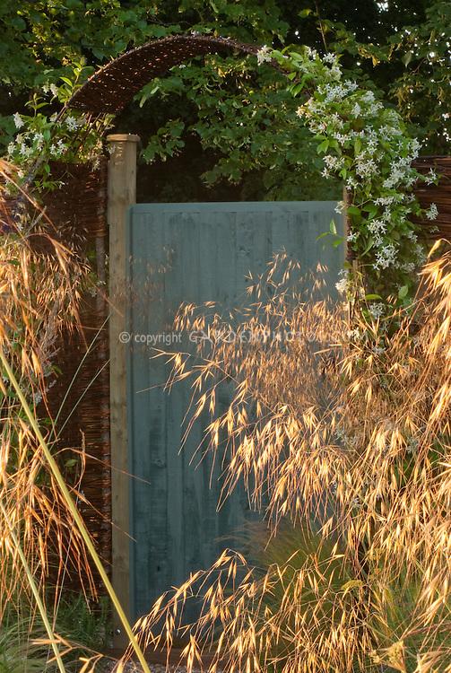 Sunlight shining thru ornamental grasses with blue garden door and arbor of white Clematis ternata aka paniculata Sweet Autumn Clematis vine