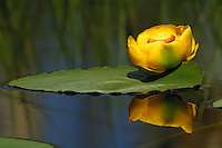 The Yellow Water-lily (Nuphar lutea) is an aquatic plant common to lakes and pond in Yellowstone. It grows with its roots fixed into the lake bed and its leaves floating on the water surface; it can grow in water up to 16 feet deep. When you find them you have found a pond rich in nutrients and you are likely to find an entire fresh water ecosystem surrounding it.
