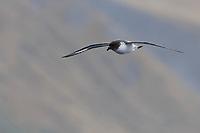 Cape Petrel (Daption capense australe), Snares subspecies, in flight near Sandy Bay, Macquarie Island, Australia.