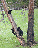 These bears were sprinting toward the tree when we arrived, perhaps fleeing another bear in the area. They didn't stay up long, moving off to the tree line soon after.