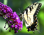 Swallowtail butterfly, butterfly, Swallowtail butterflies are large, colorful butterflies that form the family Papilionidae there are over 550 species, Tropical, caterpillars possess a unique organ behind their heads called osmeterium, Fine Art Photography by Ron Bennett, Fine Art, Fine Art photography, Art Photography, Copyright RonBennettPhotography.com © Fine Art Photography by Ron Bennett, Fine Art, Fine Art photography, Art Photography, Copyright RonBennettPhotography.com ©