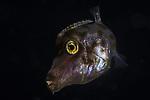 Filefish undescribed juvenile, Black Water Diving; Jellyfish; Plankton; larval crustaceans; larval fish; marine behavior; pelagic creatures; pelagic larval marine life; plankton creatures; underwater marine life; vertical migration marine creatures