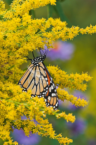 Monarch butterfly (Danaus plexippus) on shoreline of Lake Erie, Ontario, Canada sips nectar from September goldenrod preparing for annual migration south to  Mexico.